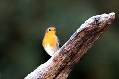 Red robin on an icy stick Royalty Free Stock Photography