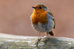 Red Robin perched on a fence. Beautiful Red Robin perched on a fence in the English Countryside Royalty Free Stock Images