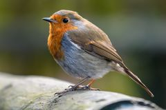 Red Robin perched on a fence. Beautiful Red Robin perched on a fence in the English Countryside Stock Image