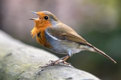 Red Robin perched on a fence. With beak open Royalty Free Stock Photography
