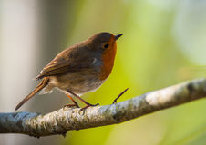 Red robin perched and looking up Stock Image