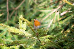 Red Robin perched on a pine twig Royalty Free Stock Photography