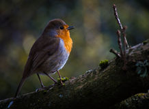 Red robin Stock Photography
