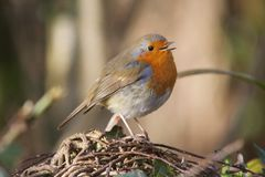 Red Robin Singing Stock Image