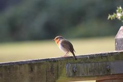Red robin sitting on a gate in the New Forest England royalty free stock photography