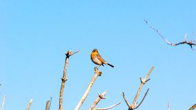 Red Robin sitting on the top of a branch royalty free stock photography