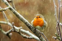Red robin in the snow Royalty Free Stock Image