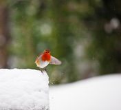 Red robin in the snow with outstretched wing Stock Images