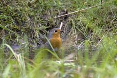 Red Robin takes a bath. Bird Red Robin takes a bath on the Kemper heide, Netherlands Stock Photography