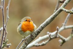 Red robin in a tree Royalty Free Stock Photography