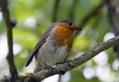 Red Robin in a tree trunk. Red Robin stood on a branch Royalty Free Stock Photo