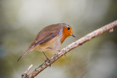 Red robin on a tree twig Royalty Free Stock Images