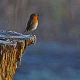 Red Robin in white winter. Red Robin sitting on a stump and bask in the morning sun on a winter Royalty Free Stock Image