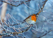 Red robin in winter Stock Images