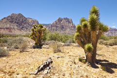 Red Rock Canyon cactus trees Nevada. Stock Photos
