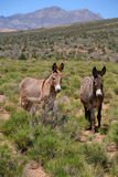 Red Rock Canyon Wild Burros. A pair of wild burros roam along the Red Rock Canyon preserve border. The burros  seen in the Red Rock Canyon National Conservation Royalty Free Stock Photography