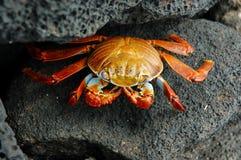 Red rock crab. This photo taken on Galapagos Islands Royalty Free Stock Image