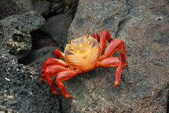 Red rock crab. Stock Photos