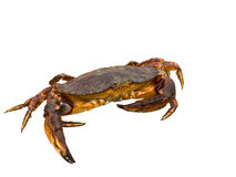 Red rock crab. Moving sideways isolated over white Royalty Free Stock Photo