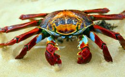 Red Rock Crab on the Beach Stock Photography