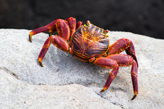 Red rock crab. A red rock crab (latin Pelecanus occidentalis Royalty Free Stock Image