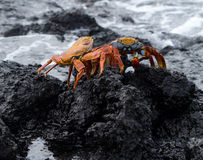 Red Rock crab or Sally Lightfoot. Red rock, Sally Lightfoot or Grapsus crab on volcanic coast of Galapagos islands Stock Images