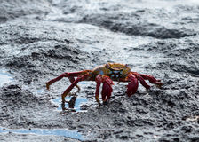 Red Rock crab or Sally Lightfoot Royalty Free Stock Image