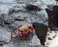 Red Rock crab or Sally Lightfoot Royalty Free Stock Photos