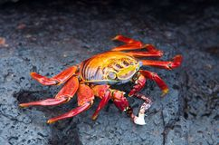 Red rock crab Stock Photo