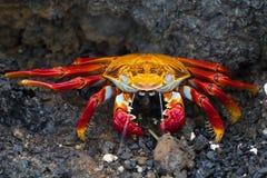 Red rock crab spitting. A red rock crab (latin Pelecanus occidentalis) spitting to excrete salt Stock Photo