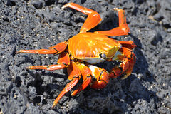 Red Rock Crab Royalty Free Stock Images