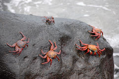 Red rock crabs. Stock Photo