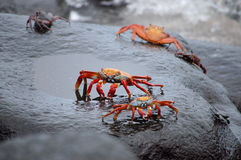 Red Rock Crabs. Stock Photography