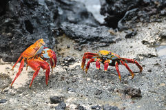 Red rock crabs battle for territory Stock Photo