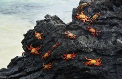 Red Rock Crabs on the Black Lava Rock stock photos