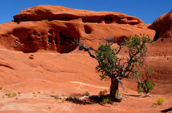 Red rock formation in Canyonlands NP. An old pine tree survives on almost bare sandstone rock in Canyonlands NP near Moab, Utah, USA Royalty Free Stock Photos