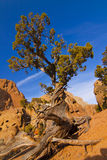 Red Rock Juniper Royalty Free Stock Photography