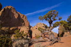 Red Rock Juniper Tree Royalty Free Stock Photo