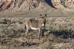 Red Rock Nevada Burro. Wild Burro hang out at Red Rock Canyon national Conservation Area in SOuthern Nevada, USA Stock Photos
