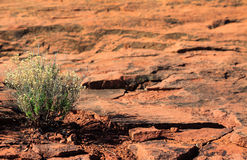 Red Rock Plants Royalty Free Stock Images