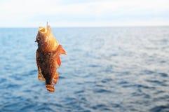 Red Rock Sea Fish Royalty Free Stock Image
