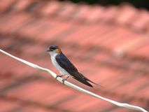 Red romped swallow perched on wire Stock Photos