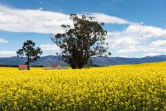 Red roofed buildings amidst the bright yellow flowers of a canola field in New Zealand. Red roofed buildings amidst the bright yellow flowers of a canola, or stock image