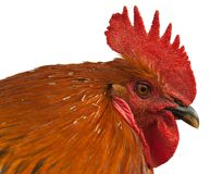 Red rooster. Stock Image