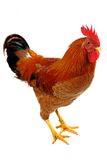 Red rooster stock images