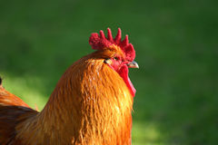 Red rooster. With big red comb Stock Image
