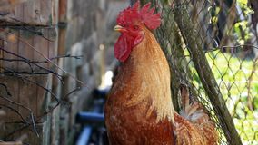 Red rooster crowing stock video