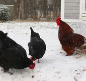 Red Rooster Crows over Hens in the Snow. A dominant rooster crows over the hens of the flock on a snowy winter morning. The hens are busy scratching through the Royalty Free Stock Photography