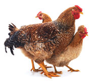 Red rooster and hens. Royalty Free Stock Image