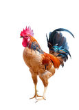 Red Rooster Stock Image